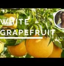 White Grapefruit – The Oil of Divinity